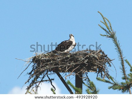 Osprey perched on its nest