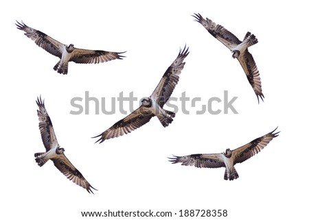 Osprey, Sea hawk, Fish eagle Isolated on white background,bird of Thailand - stock photo