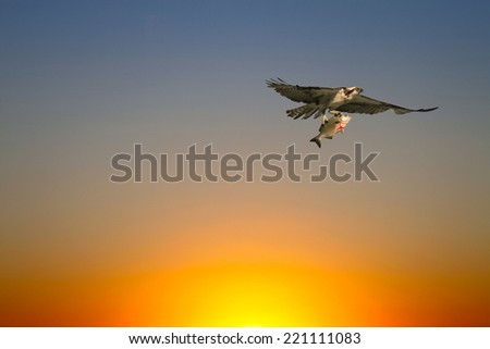 Osprey (Sea Hawk) with fish flying at Sunset