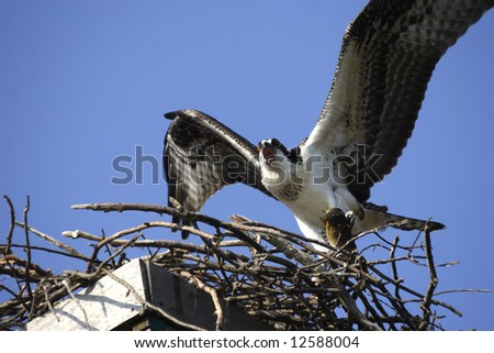 Osprey with a fish landing in its nest. - stock photo