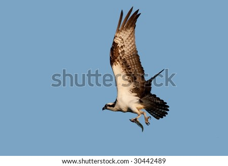 Osprey with fish flies to nest