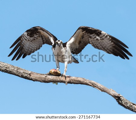 Osprey with Fish on Blue Sky - stock photo