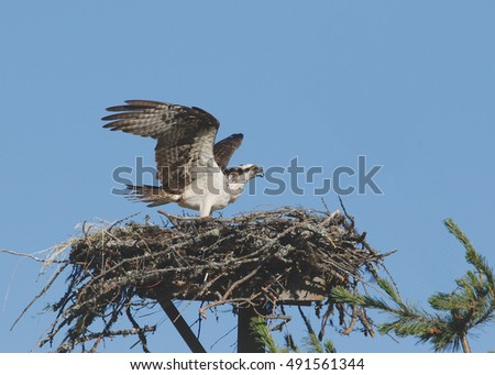 Osprey with wings outstretched