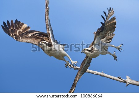 Ospreys  in flight. Latin name - Pandion haliaetus. - stock photo
