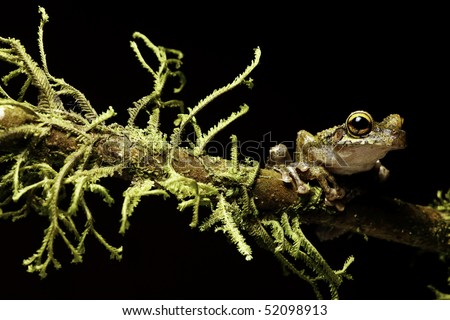 Osteocephalus leprieurii tree frog amphibians are nocturnal endangered animals need nature conservation background copy space tropical amazon Bolivia rain forest
