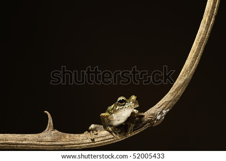 Osteocephalus leprieurii tree frog in the bolivian rain forest sitting on a branch