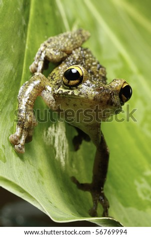 Osteocephalus leprieurii tree frog in the bolivian rain forest sitting on leaf - stock photo
