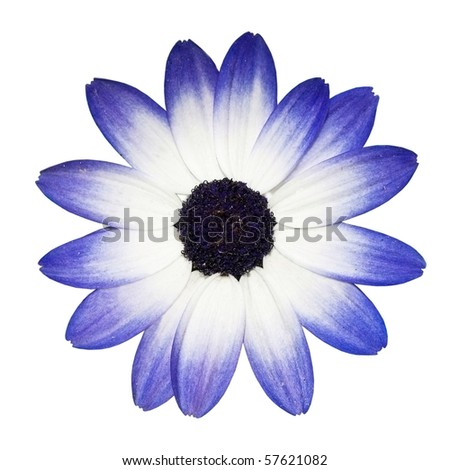 Osteospermum - Beautiful Blue and White Daisy Flower Head isolated on white background. Top view - stock photo