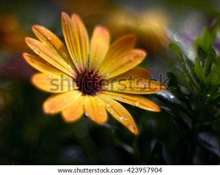 osteospermum blooming in the garden - stock photo