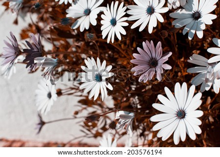 Osteospermum flowerbed. Horizontal infrared filtered shot - stock photo