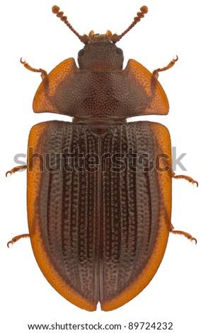 Ostoma ferruginea, Bark-gnawing Beetle, isolated on a white background - stock photo