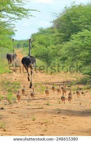 Ostrich - African Wild Bird Background - Following Mom - stock photo