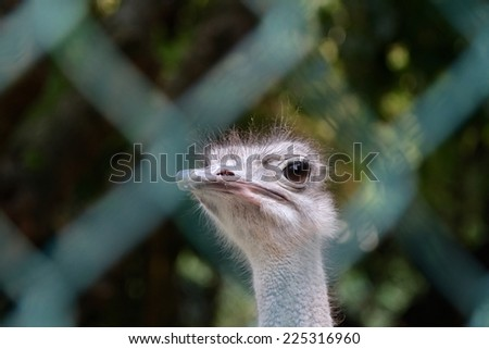 ostrich behind a fence - stock photo