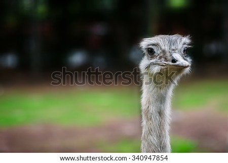 Ostrich bird head up close looking at the camera - stock photo