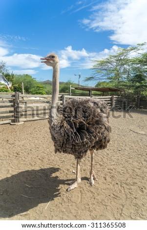 Ostrich Bird - View around Curacao a Caribbean Island - stock photo