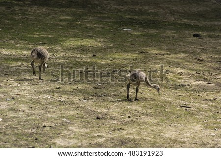 Ostrich chick looking for food.