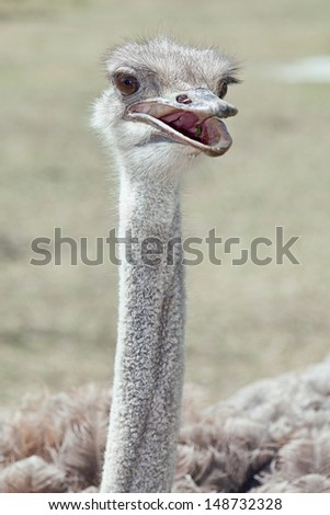 Ostrich. Close up of the head.