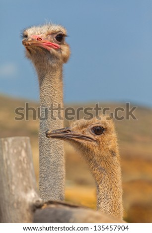 Ostrich couple female and male close-up