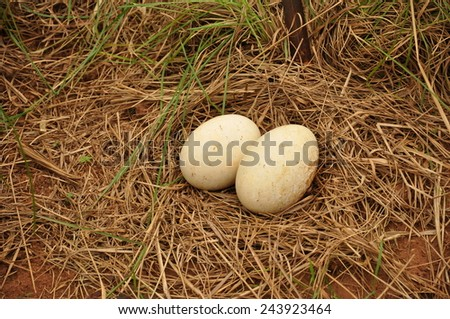 Ostrich Eggs,  - stock photo