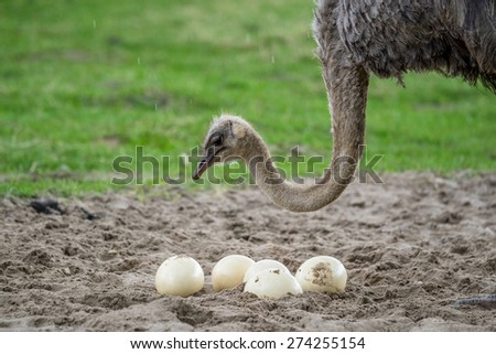 Ostrich female protecting the big eggs in the rain - stock photo