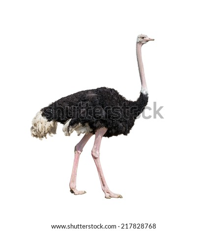 ostrich full length isolated on white - stock photo