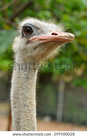 Ostrich has large eyes and big eyes.