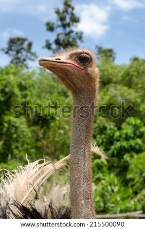 Ostrich head and nature