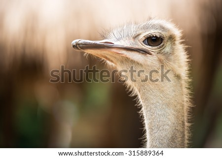 Ostrich head and neck closeup selective focus at the eye - stock photo
