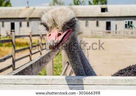 Ostrich head close up at the ostrich farm. Ostrich or type is one or two species of large flightless birds native to Africa - stock photo