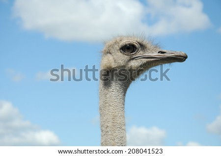 ostrich head close up on blue sky with white clouds as back ground