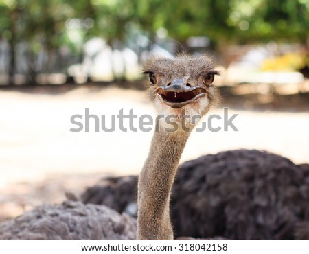 Ostrich head closeup. - stock photo