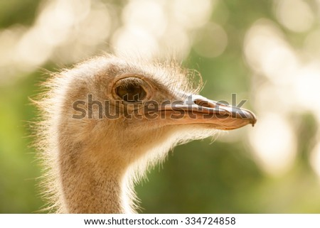 Ostrich head closeup - stock photo