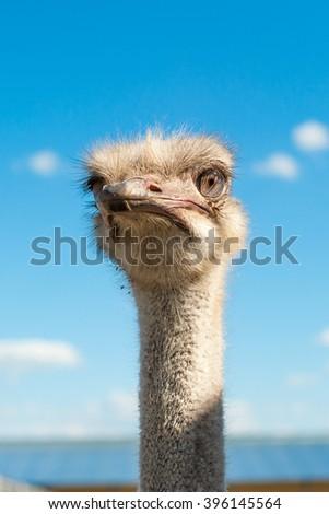 Ostrich head closeup outdoors - stock photo