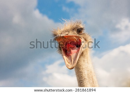 Ostrich head closeup with open mouth outdoors - stock photo