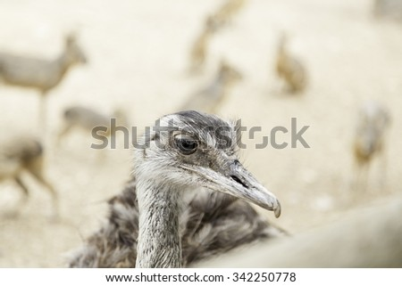 Ostrich head, detail of a giant bird, wild animal - stock photo
