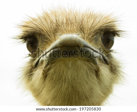 Ostrich head isolated on white background - stock photo
