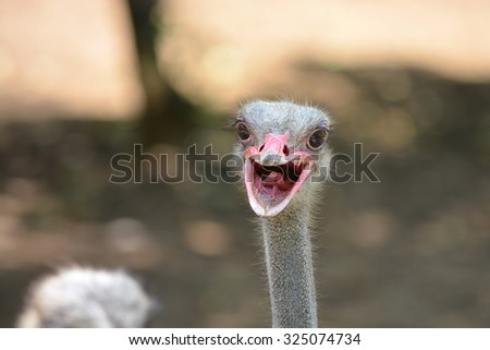 Ostrich head shot closeup - stock photo