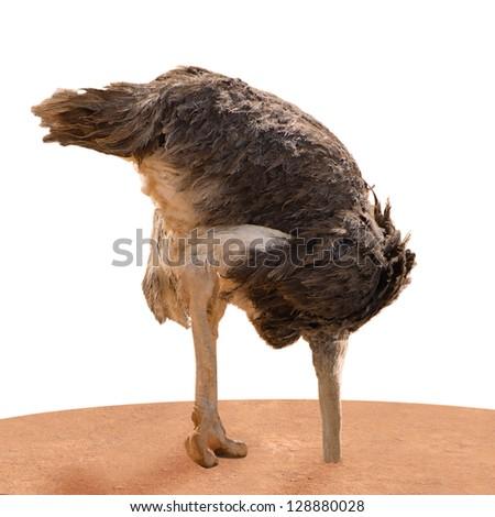 Ostrich Head Underground On White Background - stock photo