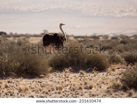 Ostrich in Desert, Namib-Naukluft National Park, Namibia - stock photo