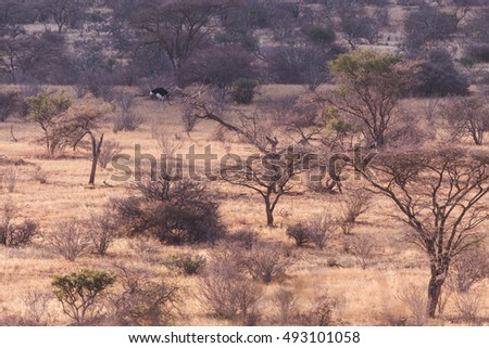 Ostrich in Samburu National Park, Africa Kenya
