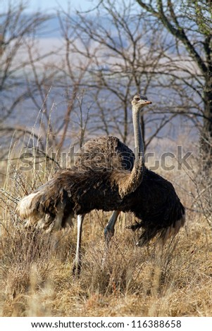 Ostrich in the field - stock photo