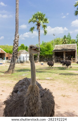 Ostrich in the zoo - stock photo