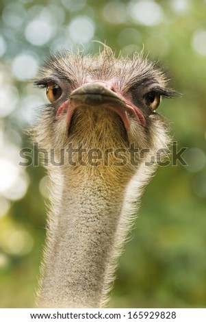 Ostrich or Struthio camelus head with autumn colors in background - vertical