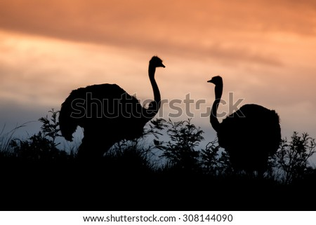 Ostrich pair silhouetted against the evening sky - stock photo