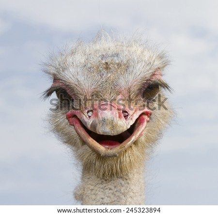 Ostrich, Struthio camelus. - stock photo