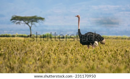 Ostrich (Struthio camelus) walking in Lake Nakuru National Park, Kenya, Africa - stock photo