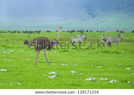 Ostrich walks the Ngorongoro crater among zebras and migrating wildebeests - stock photo