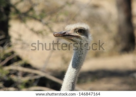 Ostrich - Wild birds from Africa - Posing for the camera on a game ranch in Namibia.
