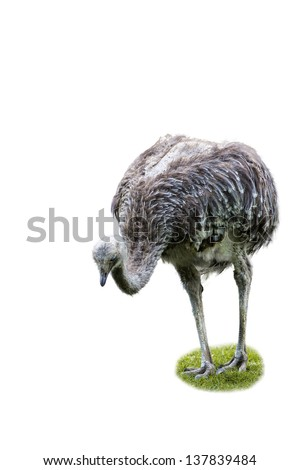 ostrich with green grass isolated on white background; copy space for your text