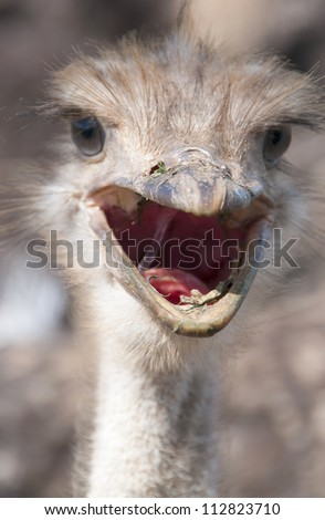 Ostrich Yelling - stock photo